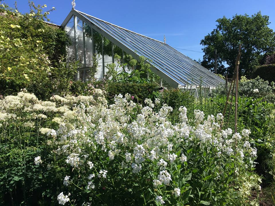 Hesperis in front of the Victorian Greenhouse