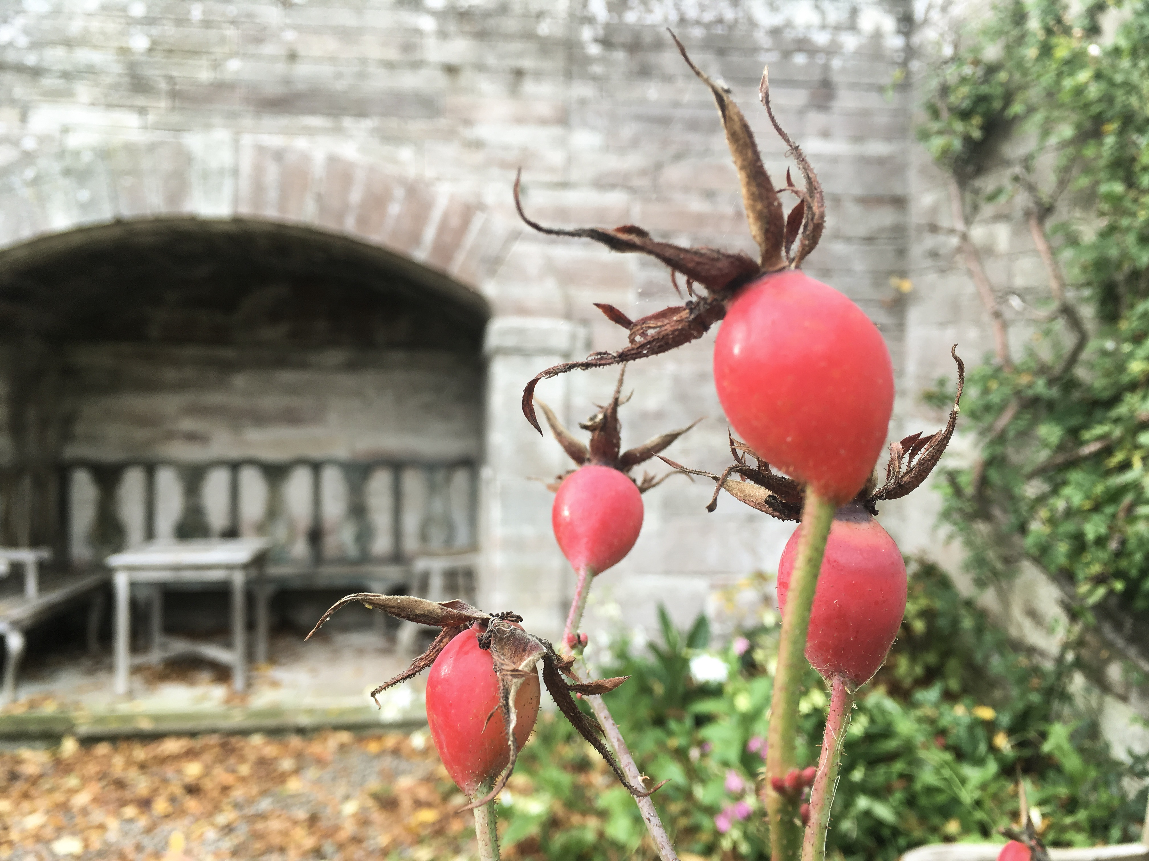 Rosehips at the end of the Rose Walk