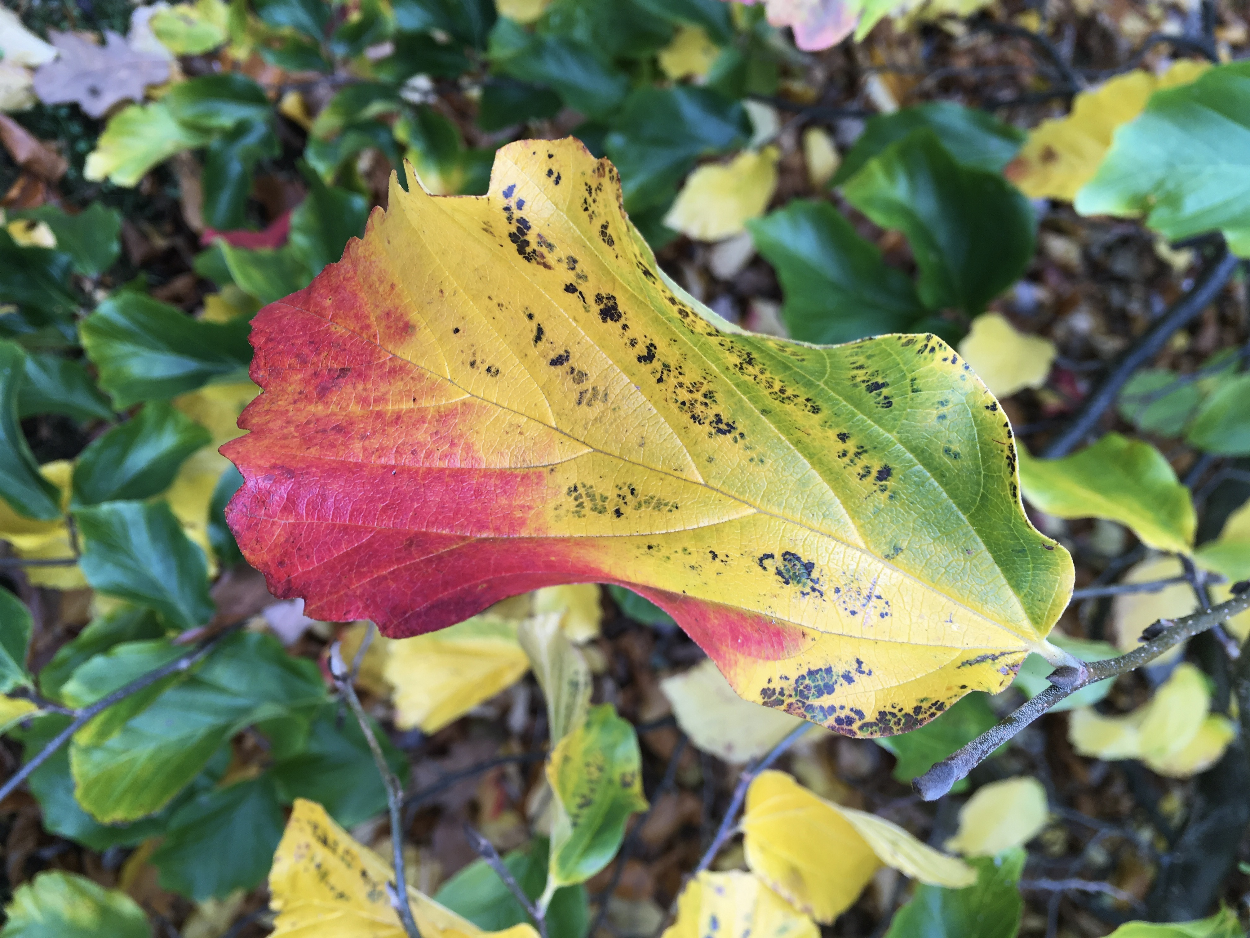 Multi-coloured leaf in the Low Garden