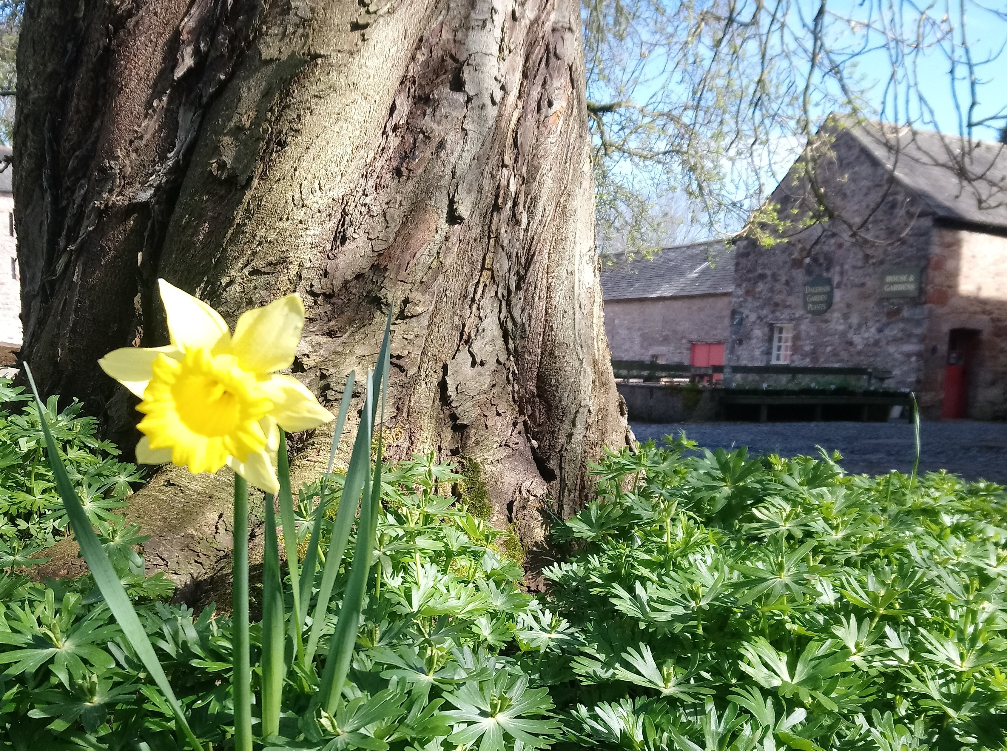 Daffodils in the Historic Courtyard