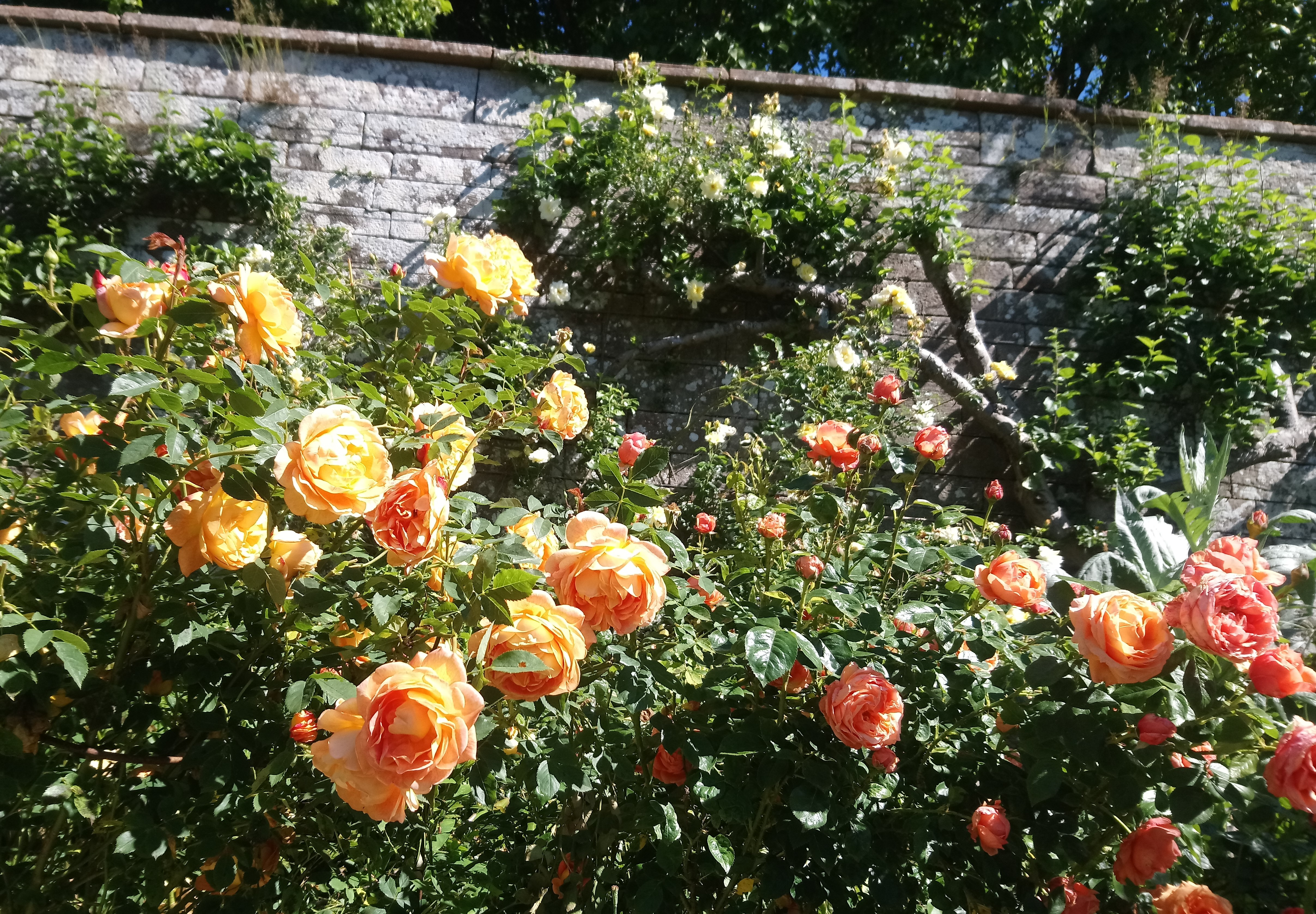 Old-fashioned Roses - orange of course!