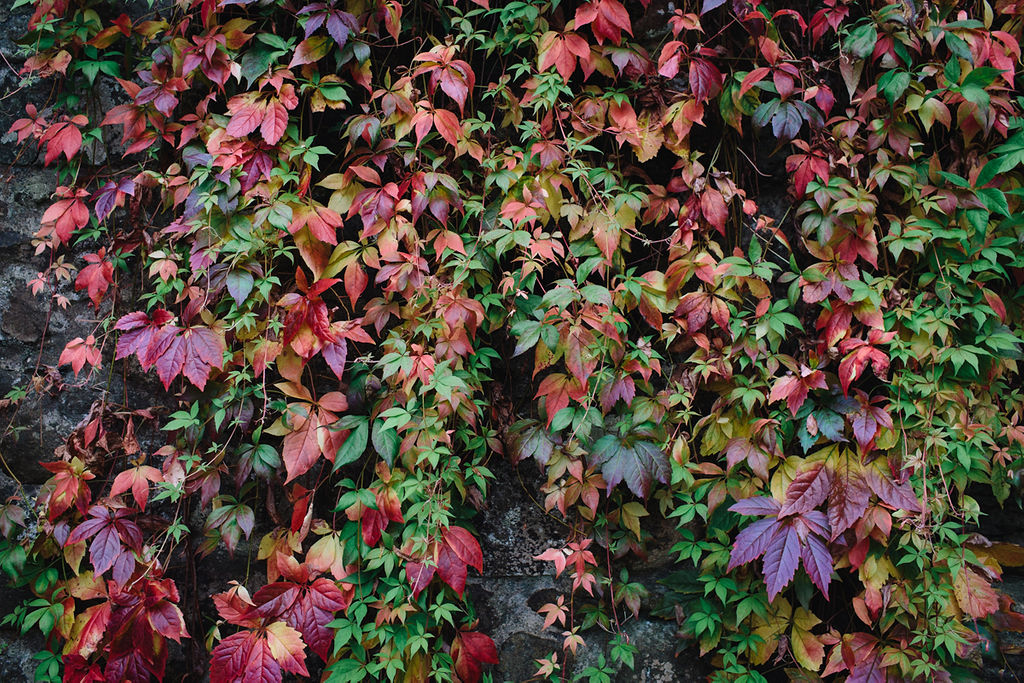 colour on the Virginia creeper