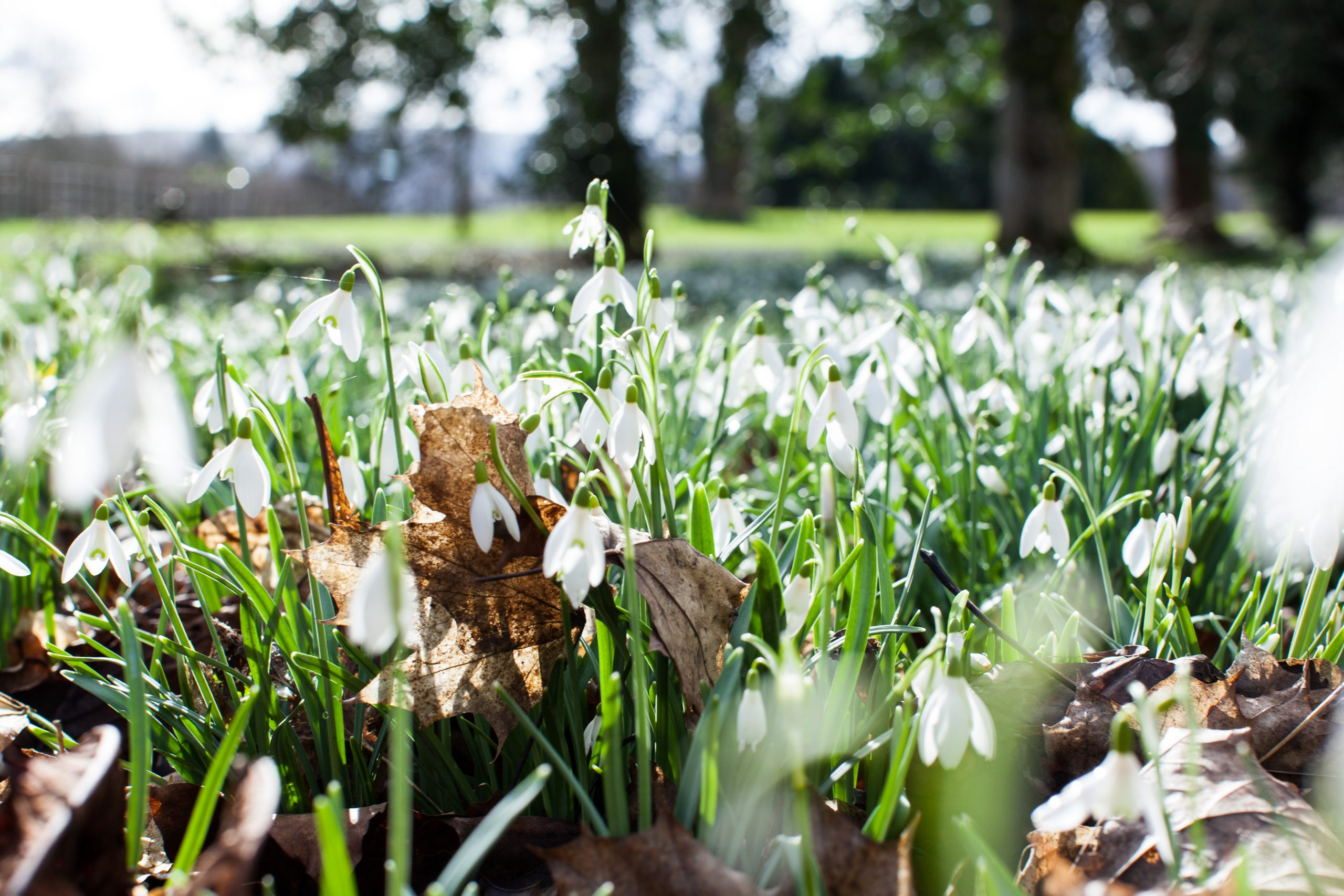 Late flowering snowdrops