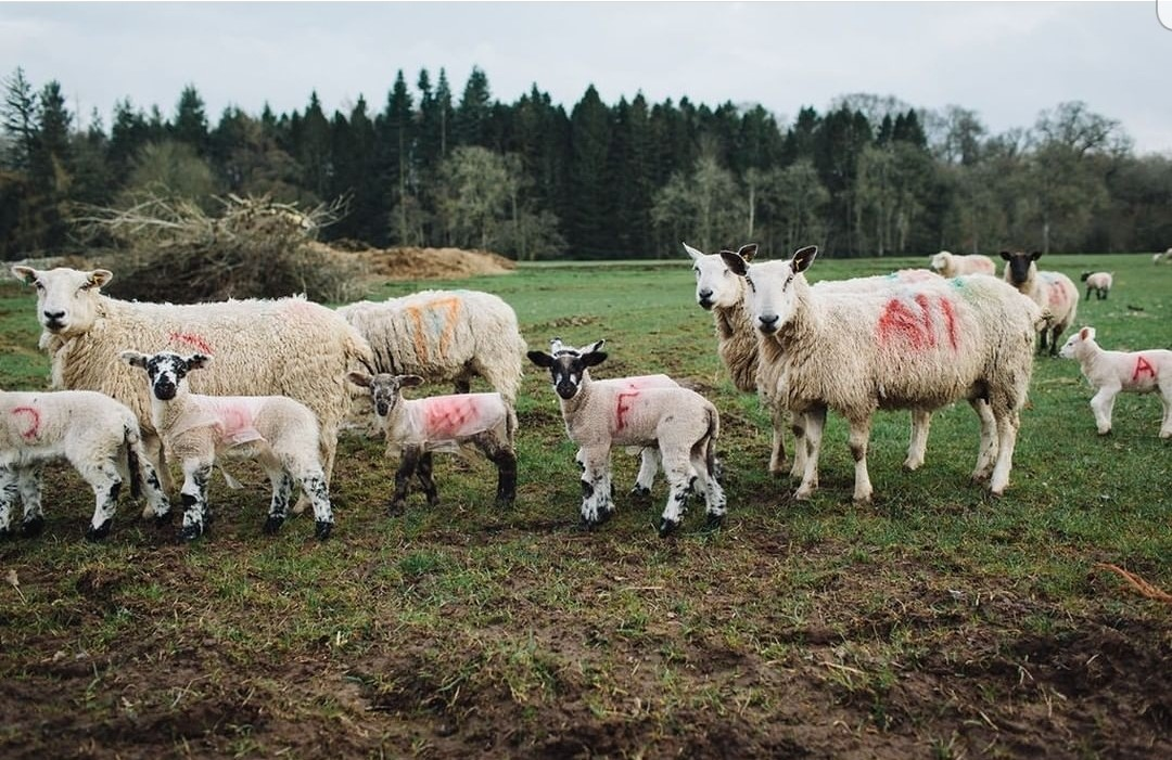 Lambing on the Dalemain Estate