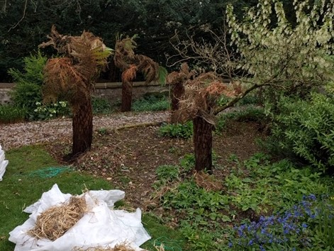 Tree ferns, unwrapped and in need of a drink!