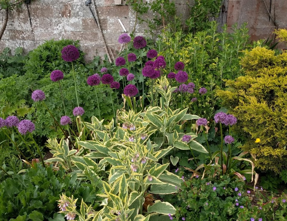 Alliums and variegated comfrey on the terrace