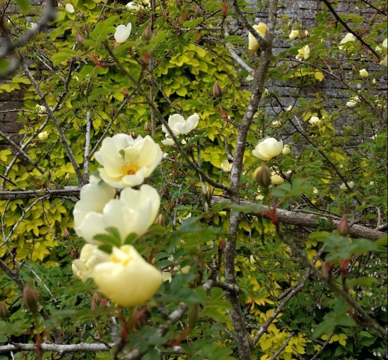Old fashioned roses in front of the yellow hop