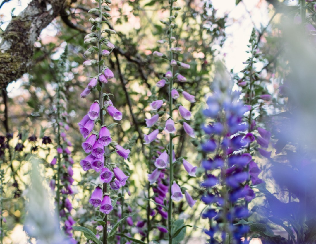 Foxgloves and Lupins in the Low Garden