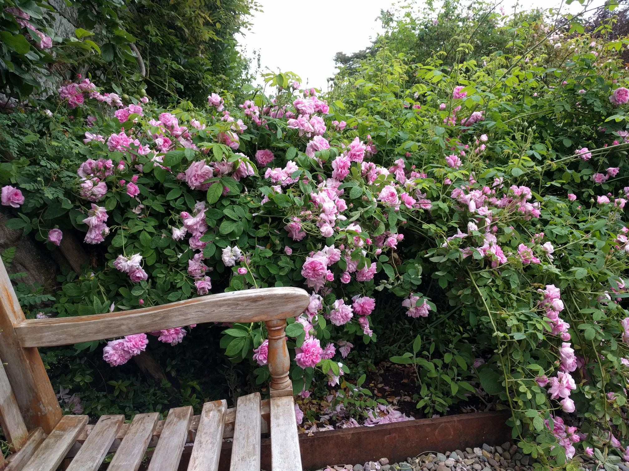 Old Fashioned Roses at Dalemain
